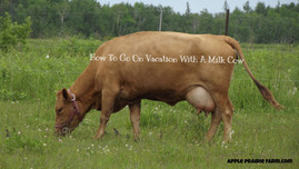 How to go on vacation with a milk cow
