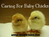 Caring for Baby Chicks on the Farm