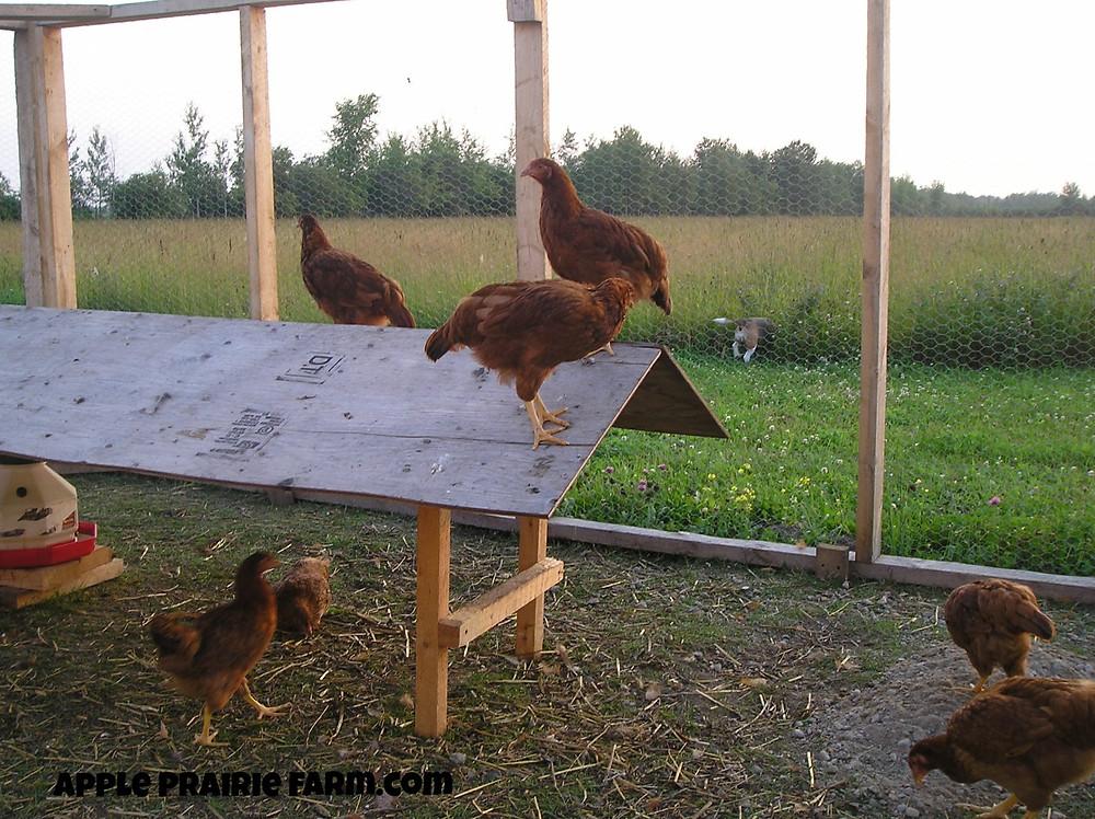 Young Rhode Island Red chicken in chicken run