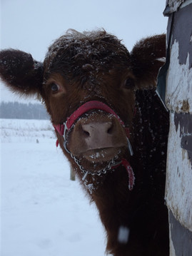 Ruby the cow