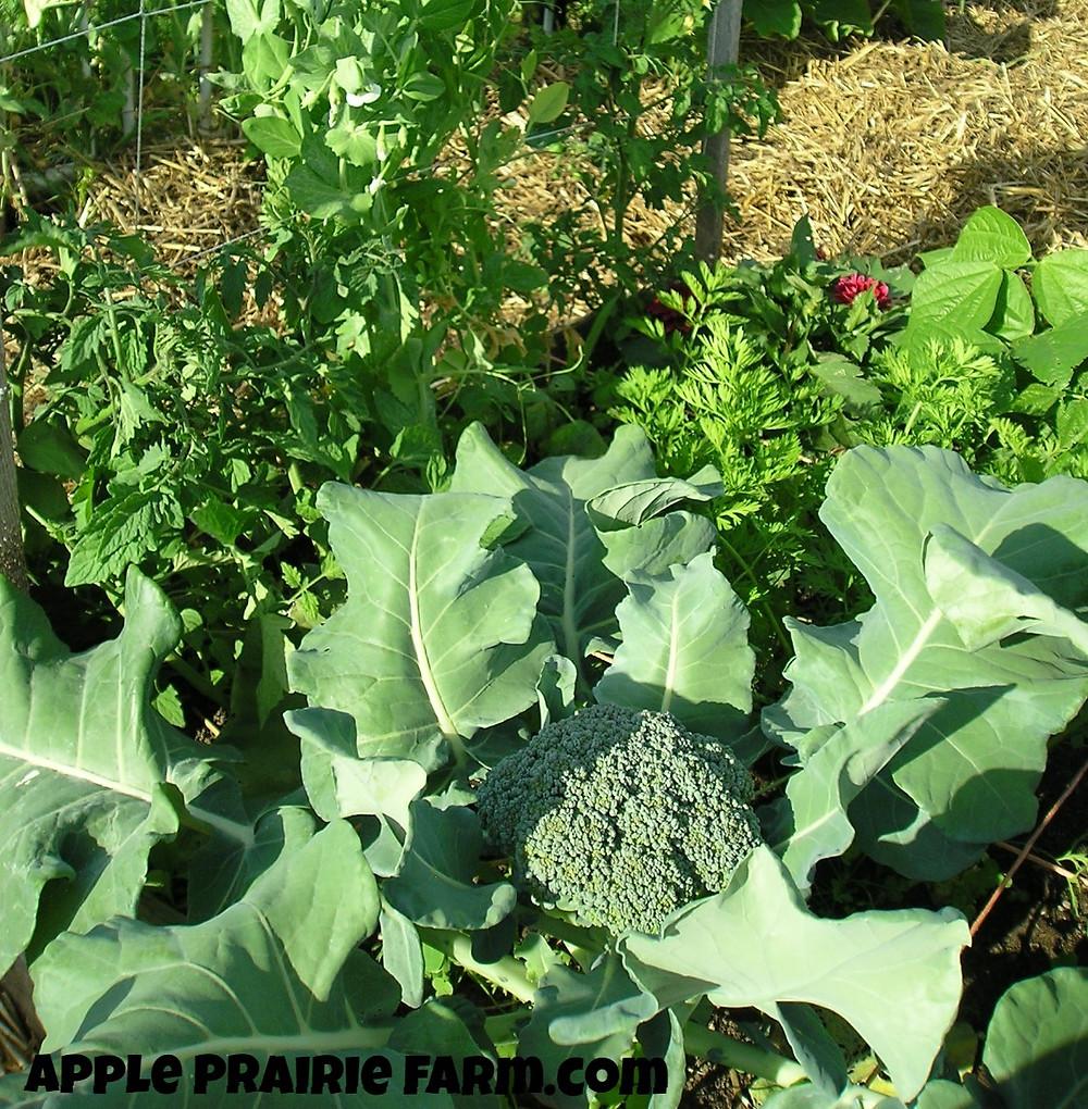 raised garden beds, square foot garden, broccoli,