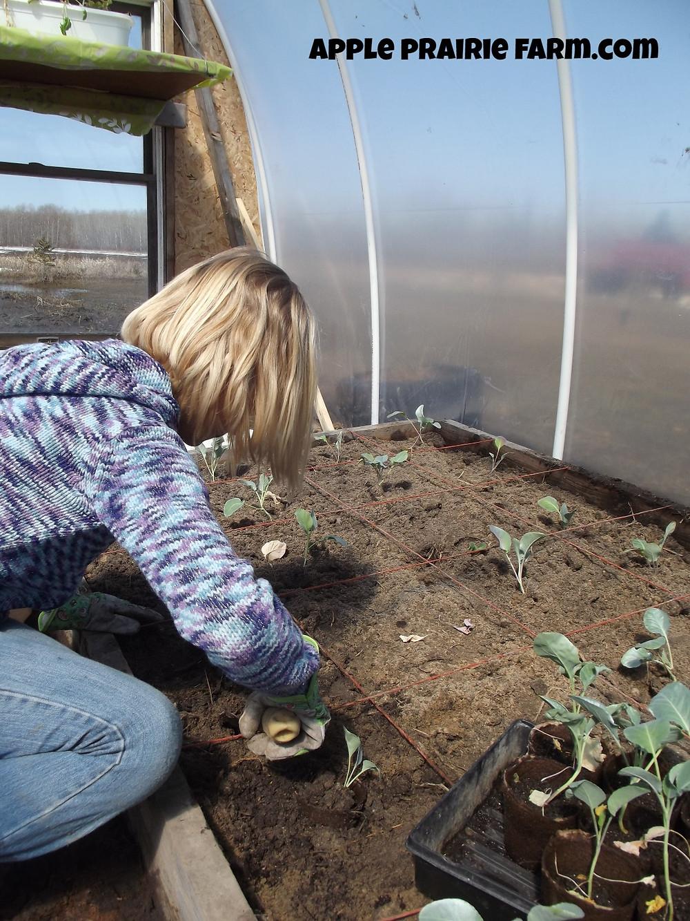 Apple Prairie Farm, Hoop house, broccoli, cauliflower