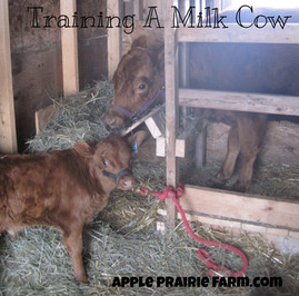 Training milk cows