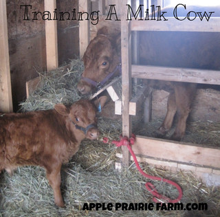 Training milk cows