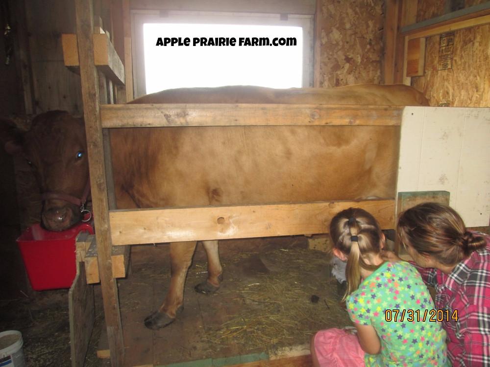 Apple Prairie Farm, milk cow, Timberview Anna, Irish Dexter