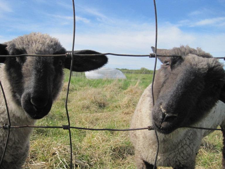 bottle lambs