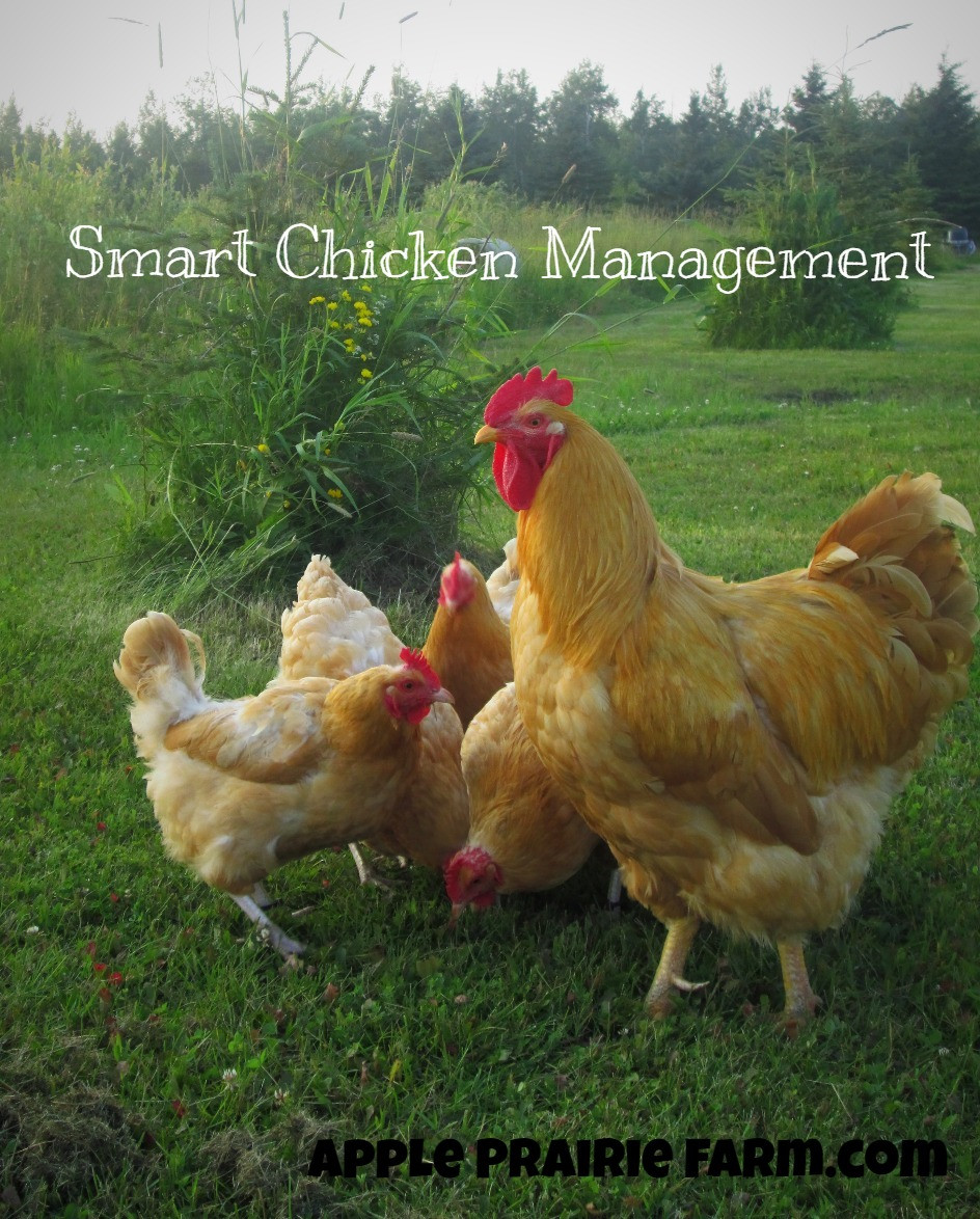 Beautiful Buff Orpington Rooster and hens, Apple Prairie Farm