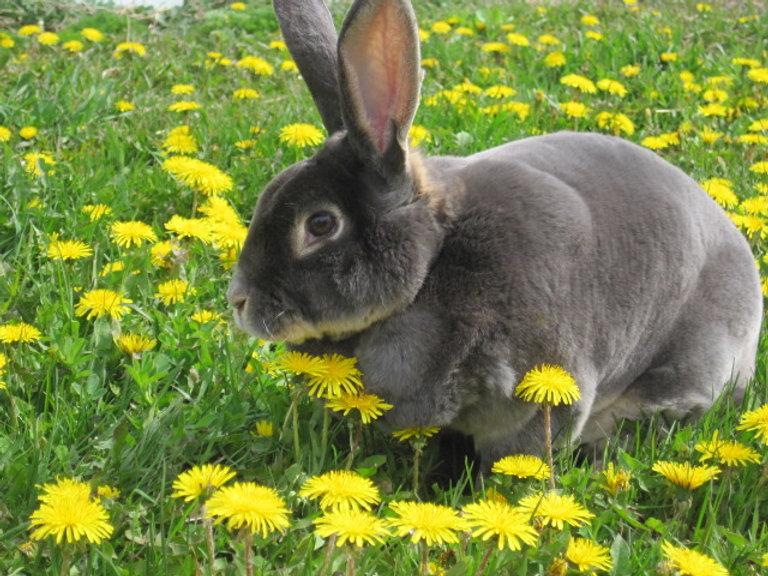 Apple Prairie Farm, Pet rabbit named Dandelion