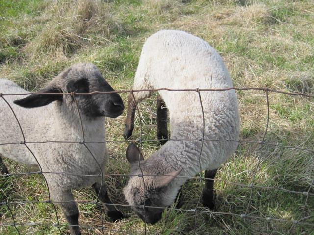 Apple Prairie Farm, bottle lambs, field, homesteading