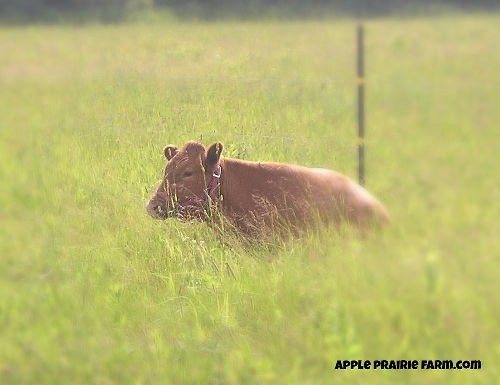 Apple Prairie Farm, milk cow