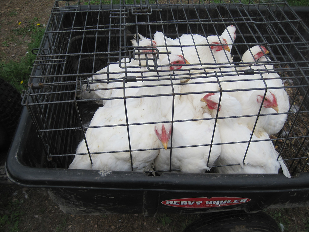broiler chickens, Apple Prairie Farm