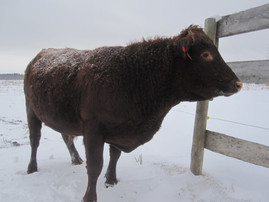 Roscoe the Irish Dexter Bull
