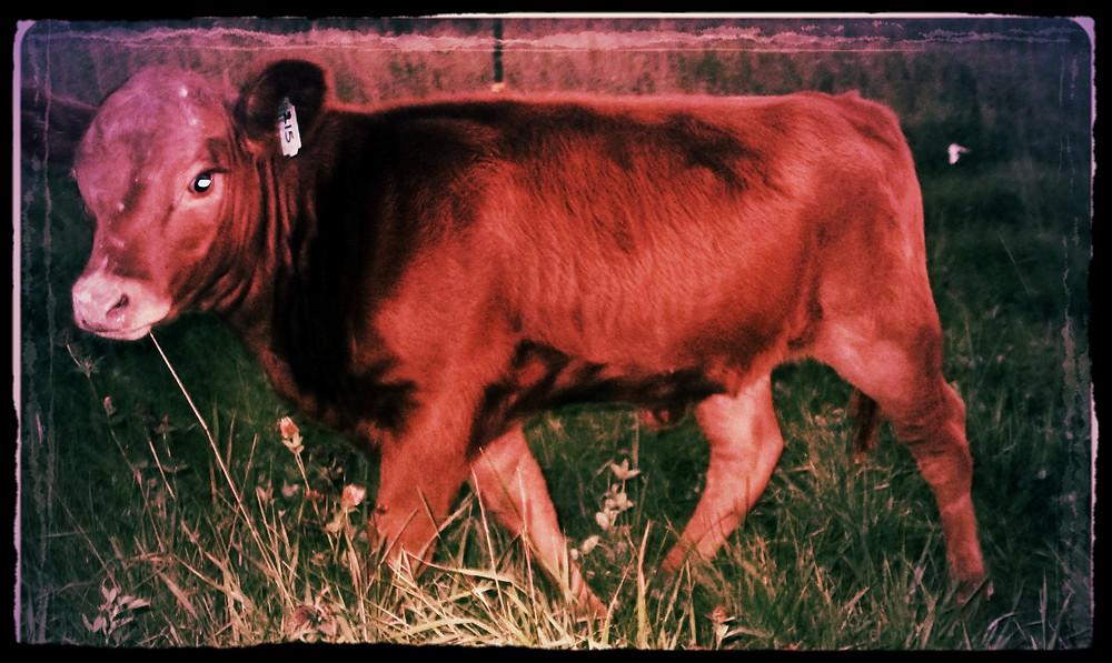 Apple Prairie Farm, Irish Dexter, APF Honeycrisp