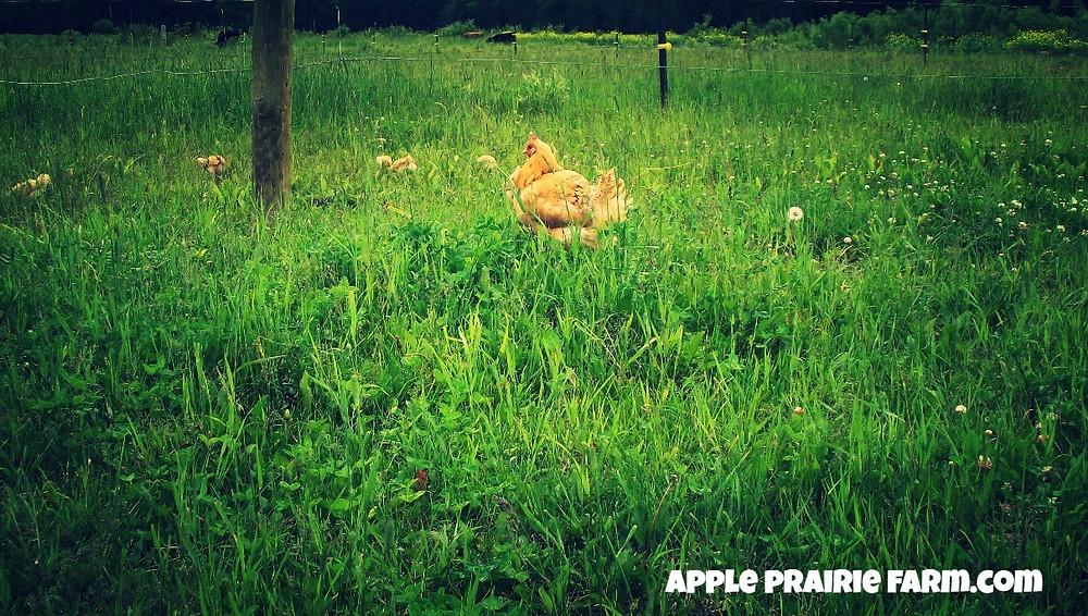 Apple Prairie Farm, Broody hen, Mama hen,
