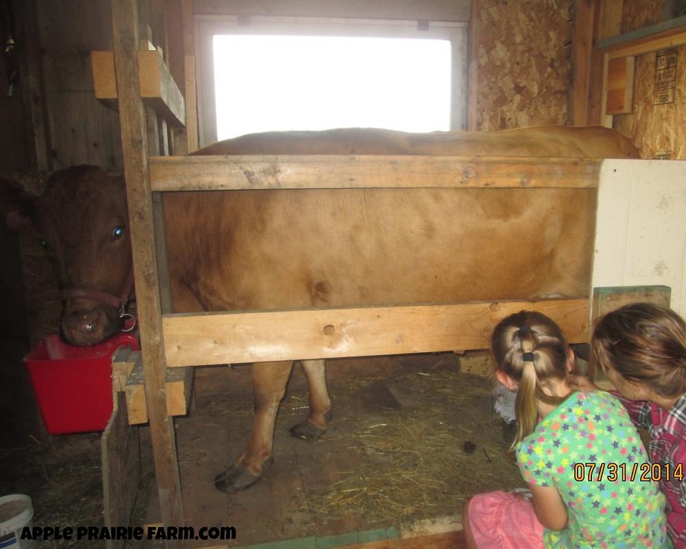 Apple Prairie FApple Prairie Farm, milk parlor, homemade stanchion, head gate