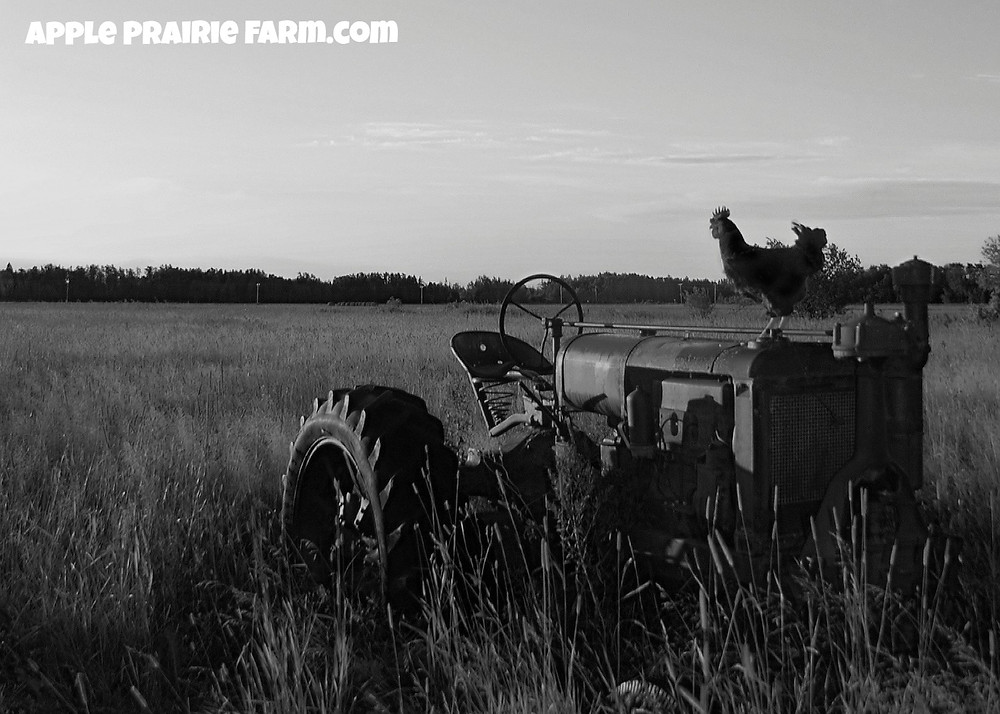 Beautiful picture of F-20 Farmall Tractor, rooster, black and white photo, Apple Prairie Farm