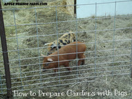 How to prepare gardens with pigs