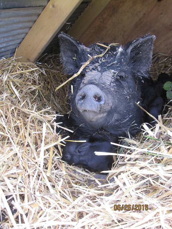 American Guinea Hog, litter of piglets