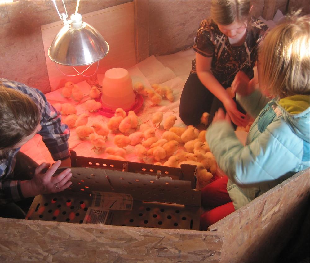 getting baby chicks on Apple Prairie Farm