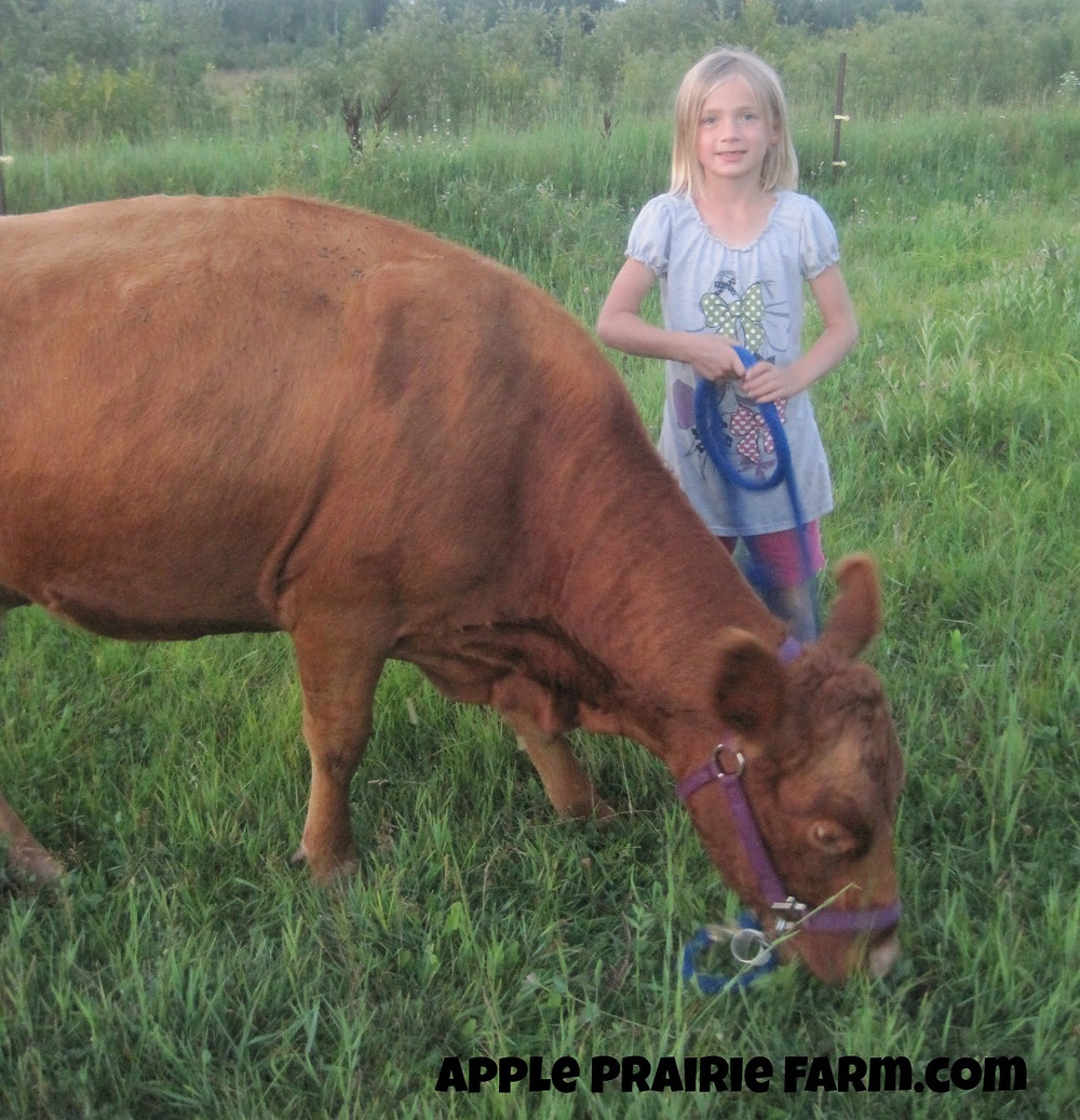 Ruby the Irish Dexter Cow