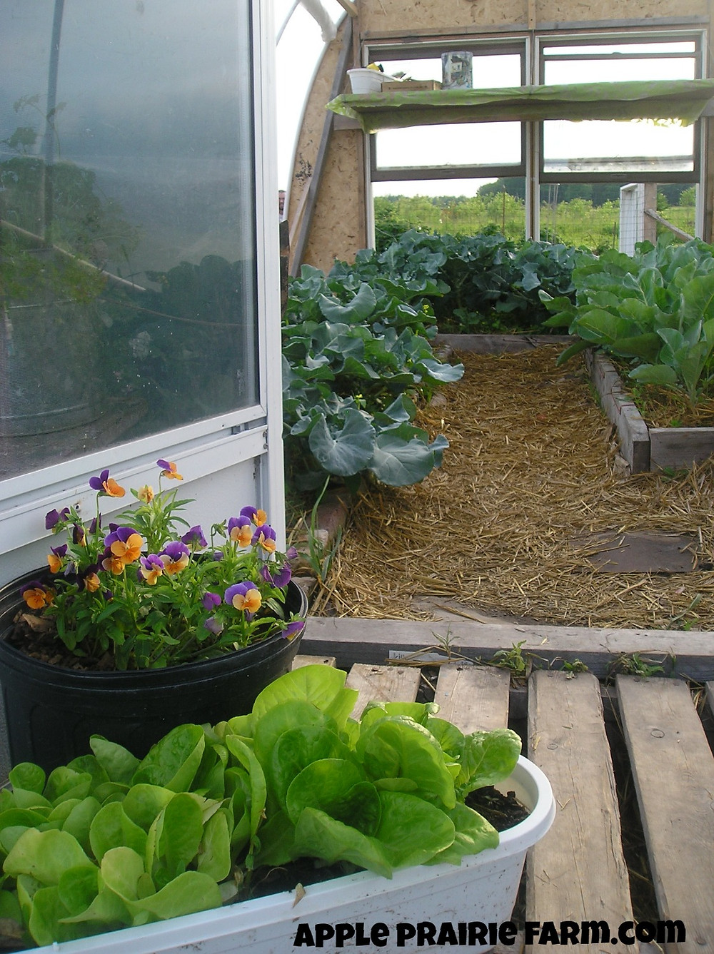 Hoop house, broccoli, cauliflower, pansies, companion planting, Little Gem Romaine Lettuce