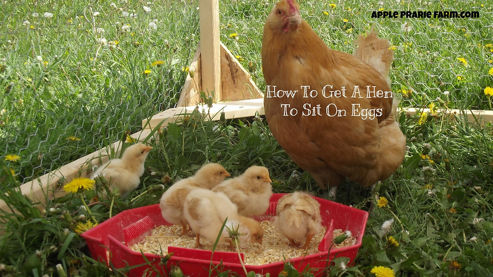 Mama Hen with chicks outside in Chicken tractor