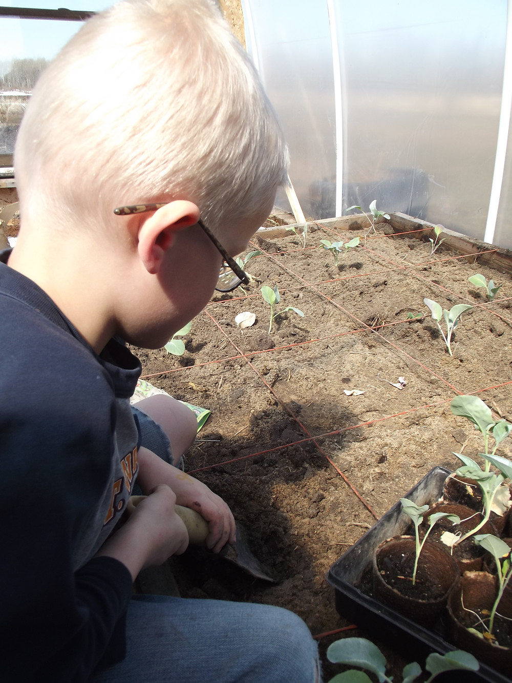 Young boy planting broccoli seedlings in hoop house, garden