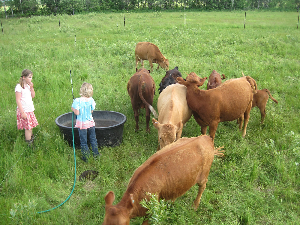 Apple Prairie Farm, Irish Dexter Cattle