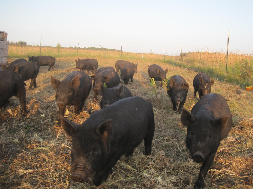 Apple Prairie Farm, American Guinea Hogs, rotational grazing