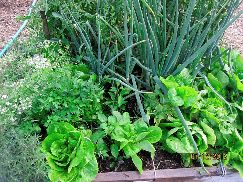 Raised beds, square foot gardening, herbs, parsley, onions, rosemary, cilantro, little gem lettuce,