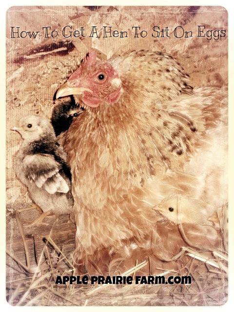 Apple Prairie Farm, broody hen, clutch of eggs,
