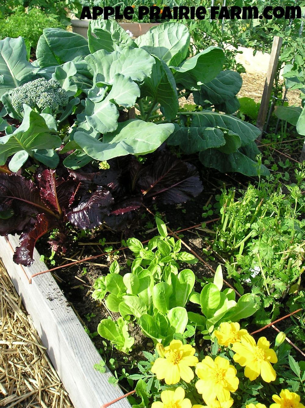 companion planting, Little Gem Romaine Lettuce, onions, peppers, raised beds, square foot gardening, broccoli, tomato plant, cilantro