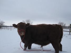 Fuji the Irish Dexter bull calf