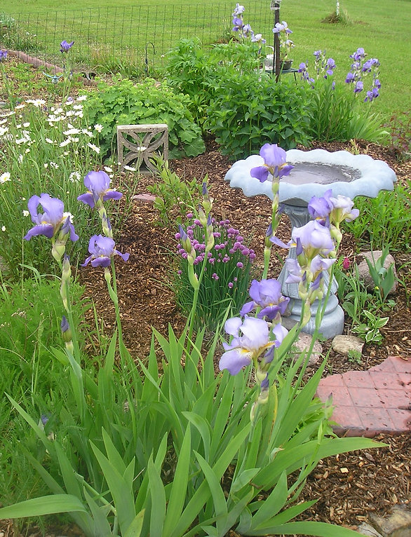 edible landscaping, chives, bird bath, irises,