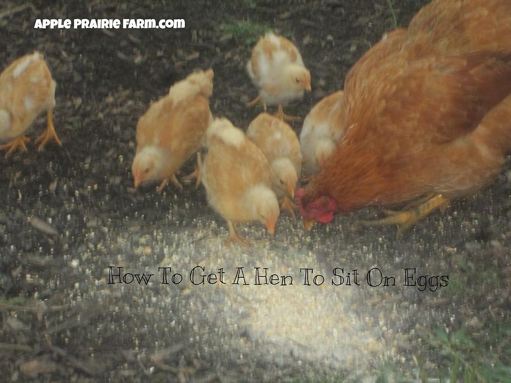 Apple Prairie Farm, Broody hen, mama hen