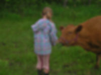 Young girl feeding Anna the milk cow, Irish Dexter, Apple Prairie Farm