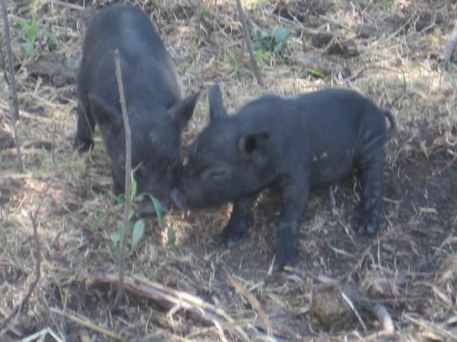 Apple Prairie Farm, homesteading , American Guinea Hogs,