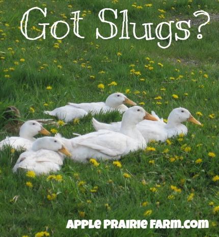Peking Ducks, Apple Prairie Farm