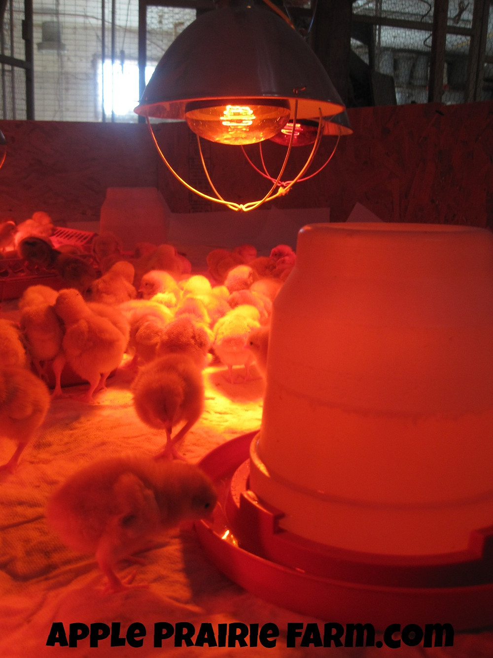 Apple Prairie Farm, How to brood chicks, Homesteading