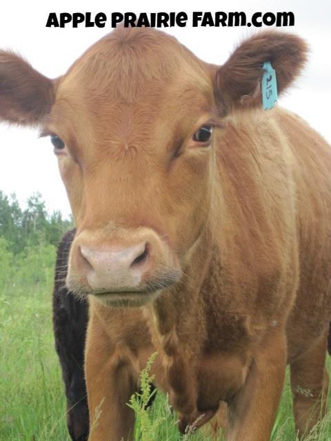 Honeycrisp, Irish Dexter Cow