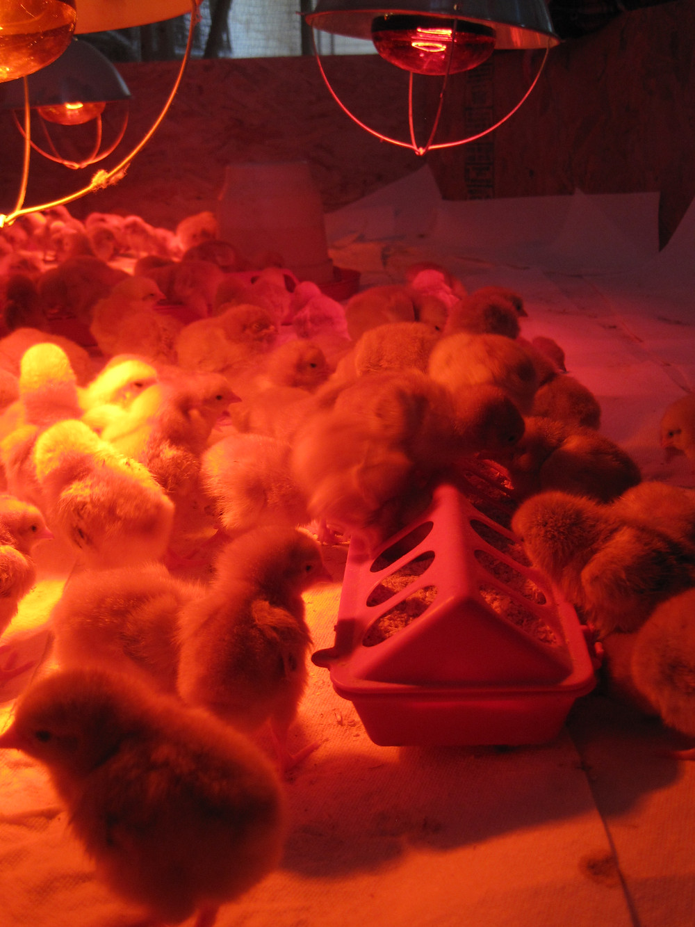 Apple Prairie Farm, homesteadingFreedom Rangers, Broilers, homegrown chicken, pastured chicken