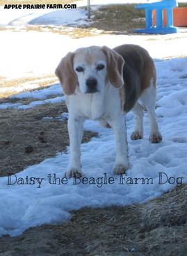 Daisy the Beagle Farm Dog