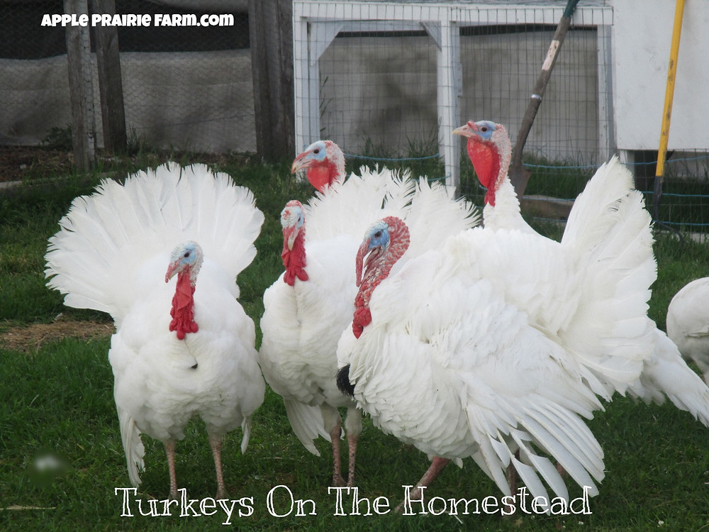Handsome Midget White Turkey Toms, Apple Prairie Farm