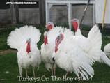 Turkeys on the Homestead