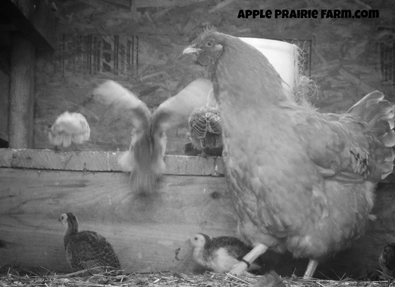 Guinea hens, Guinea fowl, tick control, farm guardians
