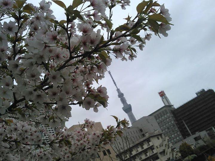 Facebook - 今週、最後の桜は、地元で!