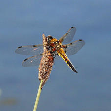 Four Spotted Chaser Dragonfly