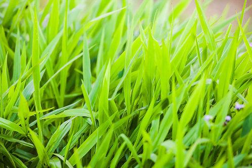 Fresh Cut Grass - Soy Candle