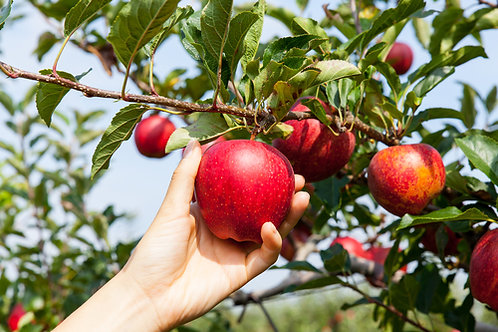 Apple Picking - Soy Candle