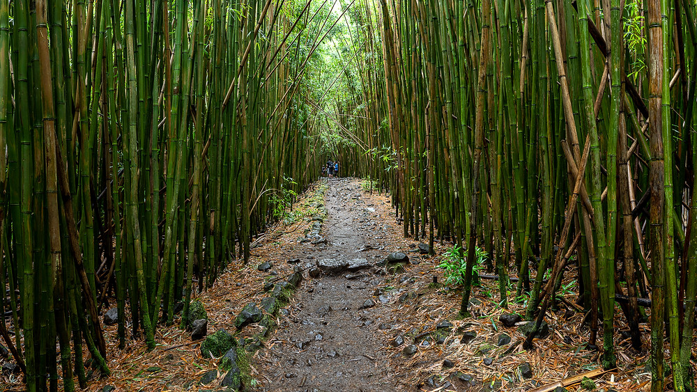 HDR photo of a bamboo forest
